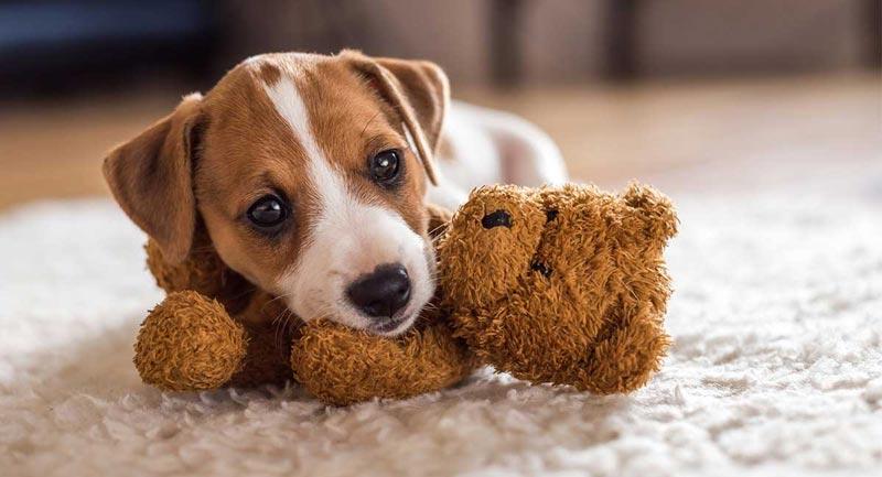 Como cuidar de raças de cães pequenos