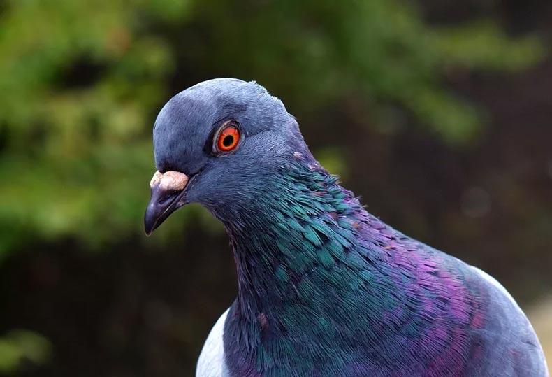 Pombos como animais de estimação