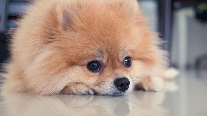Sonho com cachorro